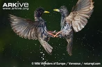 Amazing Pictures of Animals, Photo, Nature, Incredibel, Funny, Zoo, Common Starling, Stumus vulgaris, Bird, Aves, Alex (9)
