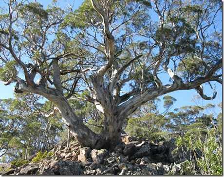 Eucalypt on scree westren end of Three Thumbs
