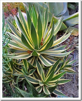 110916_agave-lophanta-quadricolor_01