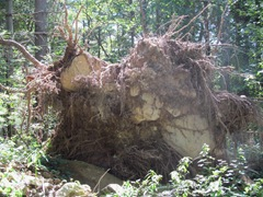 uprooted tree with huge rocks in roots2