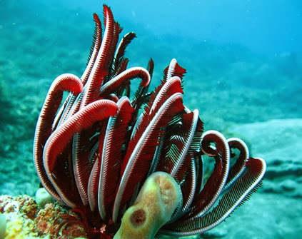 Amazing Pictures of Animals, Photo, Nature, Incredibel, Funny, Zoo, Crinoid, Lamprometra palmata, Alex (8)