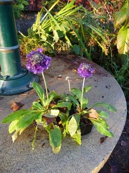 078 Primula capitata ssp. mooreana Daniel Grankvist