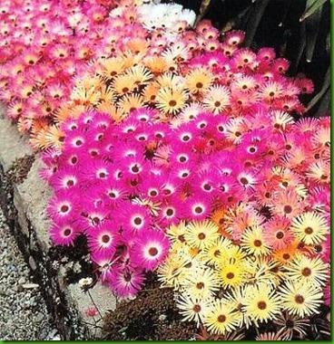 Mesembryanthemum Tricolor