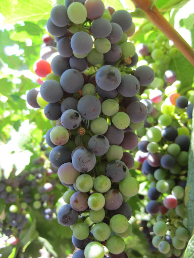 Malbec grapes on a vine in Mendoza.