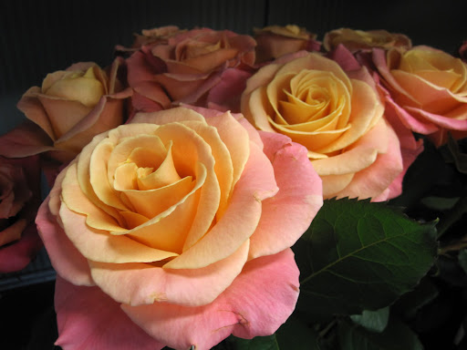 I can't believe how gorgeous this rose is, and I love the name ...
