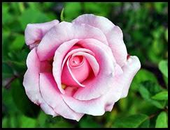 04f5 - Flowers in the Rose Garden