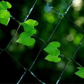 creeper... by Hale Yeşiloğlu - Nature Up Close Leaves & Grasses ( fence, green, creeper, ivy, leaves )