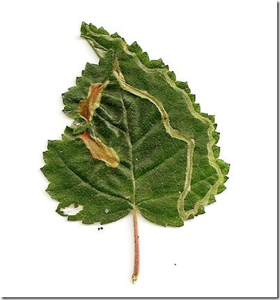 Agromyza alnibetulae mine M3