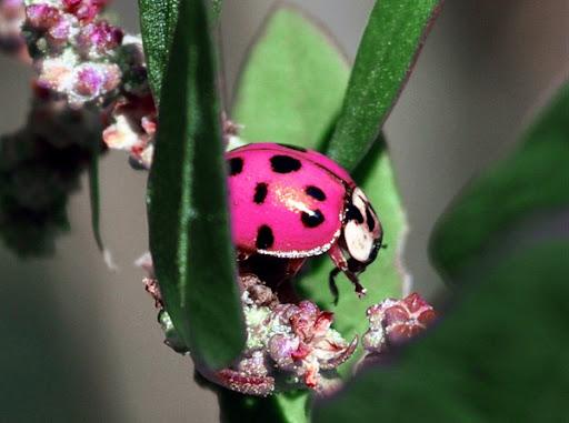 Real pink ladybug