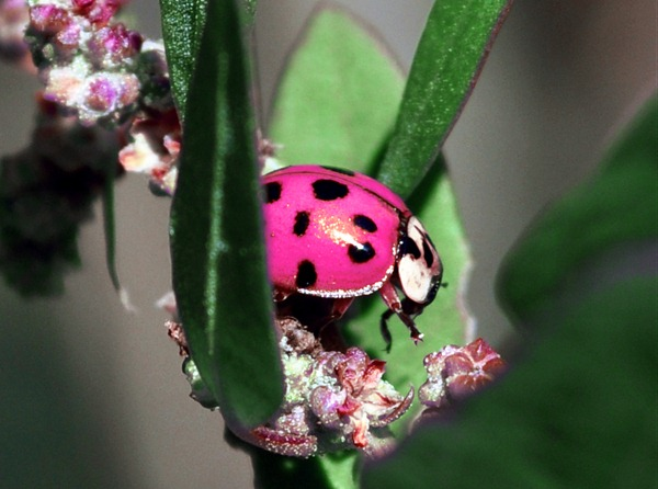 Pink Lady Bug