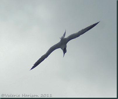 4-diving-tern