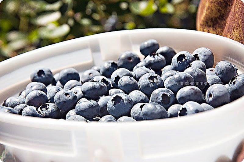 Bucket-of-blueberries-(1)