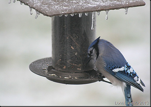 BlueJay_Jan21_2012