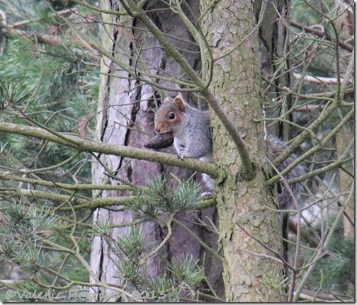 92-grey-squirrel