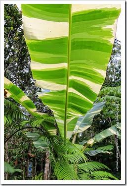 140805_Hawaii_BananaAeAe_008
