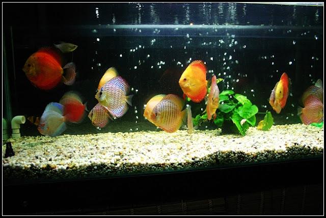 居家中擺放魚缸養魚,有招財斂財的風水功效!