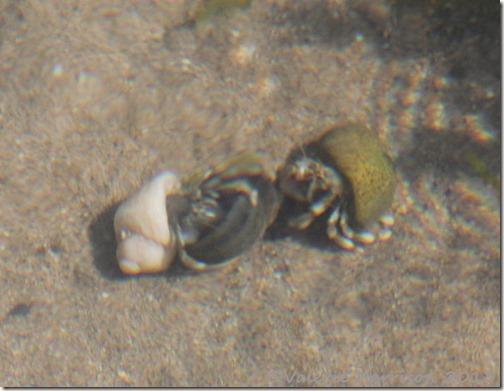 14-hermit-crab