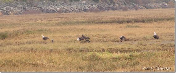 feeding eagles