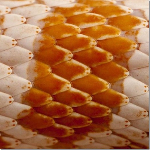 Close-up of corn snakeskin or red rat snakeskin, Pantherophis guttattus image from Bigstock