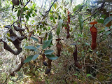 Lots of nepenthes on Bandahara, which were useful to collect water for drinking as along the trail there are very few water sources (Mykhailo Pavliuk, January 2013)