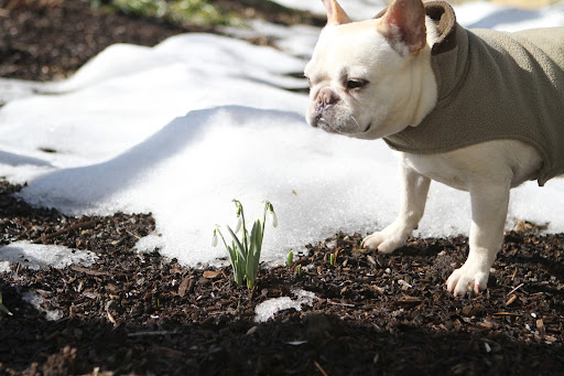 Franny, there are more snowdrops in this garden!