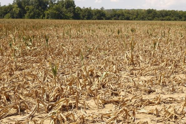 Corn plants dry in a drought-stricken farm field on 16 July 2012 near Shawneetown, Illinois. The corn and soybean belt in the middle of the nation is experiencing one of the worst droughts in more than five decades. According to the Illinois Department of Agriculture 48 percent of the state's corn crop is currently in poor to very poor condition. Illinois is the second largest producer of corn in the United States behind Iowa. Scott Olson / Getty Images