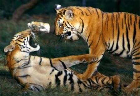 Tigers_playing_at_Pilibhit_Tiger_Reserve_area
