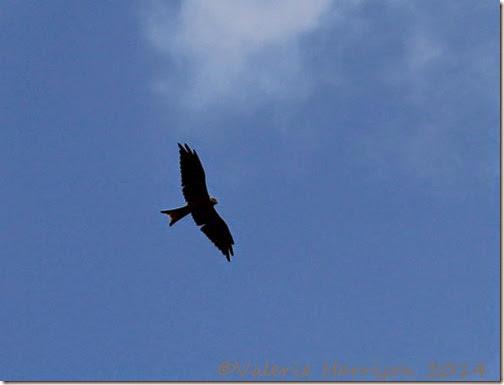22-red-kite
