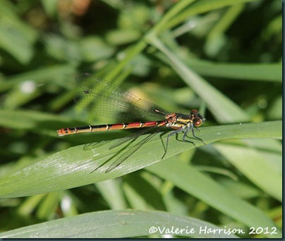 8-Large-red-damselfly