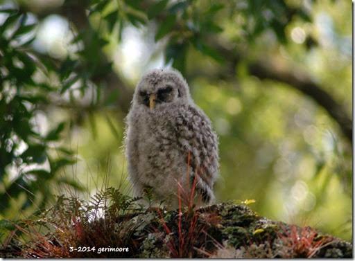 baby myakka owl 2 em 032