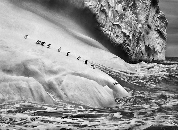 Chinstrap penguins on icebergs located between Zavodovski and Visokoi islands in the South Sandwich Islands, 2009. Photo: Sebastião Salgado / Amazonas images-Contact Press Images