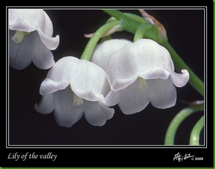 lily_of_the_valley_02