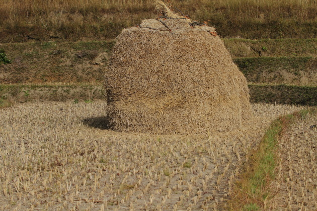 Heap of harvested rice at Punakha, Bhutan