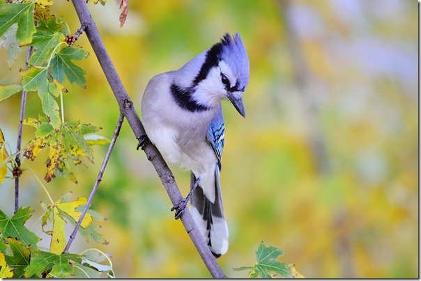 Blue Jay by Nduche Onyeaso1010