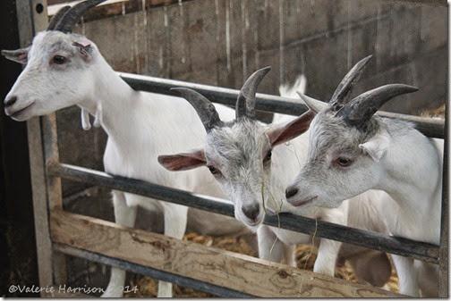 10-goats