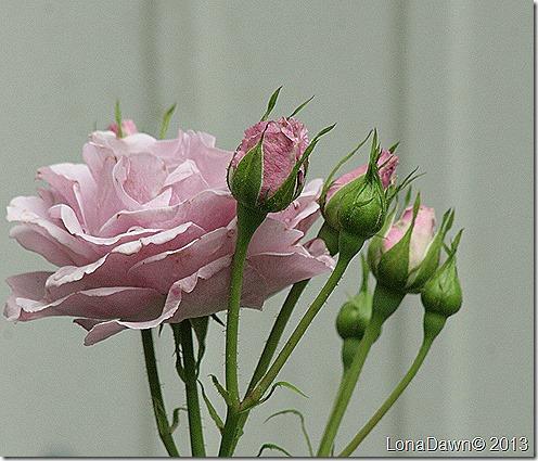 Rose_LavenderSimplicity_Hedge2