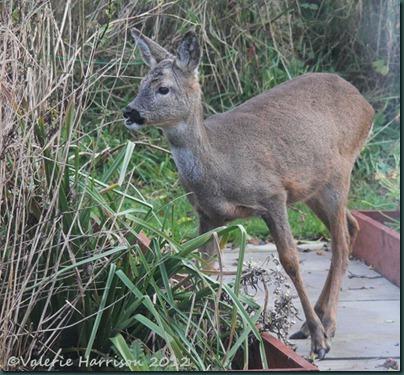 roe-deer-2