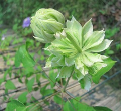 Double white clematis stages of opening1