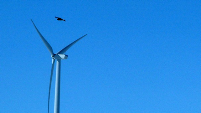 In this 18 April 2013 photo, a golden eagle is seen flying over a wind turbine on Duke energy's top of the world wind farm in Converse County Wyo. For the first time, the Obama administration is taking action against wind farms for killing eagles. In a settlement announced Friday, Nov. 22, Duke Energy will pay $1 million for killing 14 golden eagles over the past three years at two Wyoming wind farms. Photo: Dina Cappiello / Associated Press