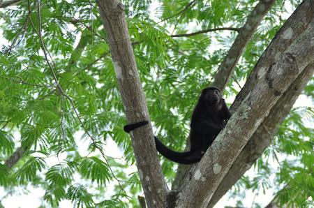 Fauna Costa Rica: Maimuta urlatoare