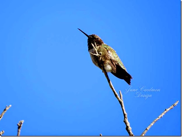 BlackChinned_Hummingbird