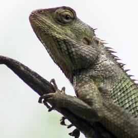 Oriental Garden Lizard by Sankar Singha - Animals Reptiles ( west bengal, macro, nature, wildlife, india, reptile )