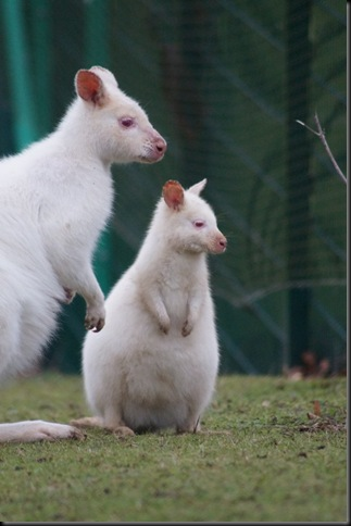 Whitgift White Wallaby