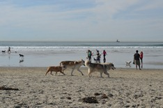 wolf dogs on the Dog Beach at Ocean Beach