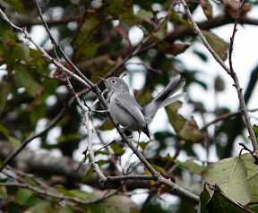 Fantastic Blue-Gray Gnatcatcher - there were two of them
