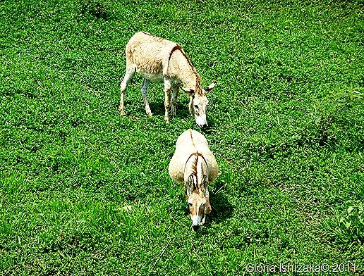 Glória Ishizaka - Guaiçara - margem do rio campestre - burros