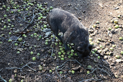 And look at all of these nuts on the ground, Sharkey!  It looks like a bumper crop this year, providing lots of winter sustenance for our woodland friends!