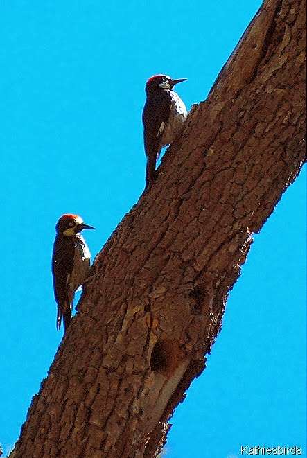 8. acorn woodpeckers-kab