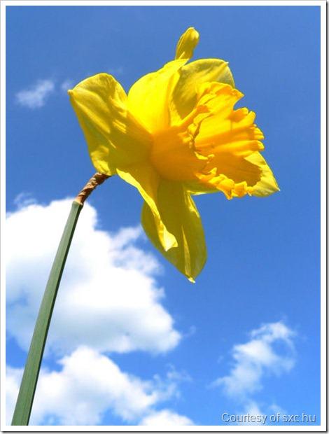 Daffodil smaller
