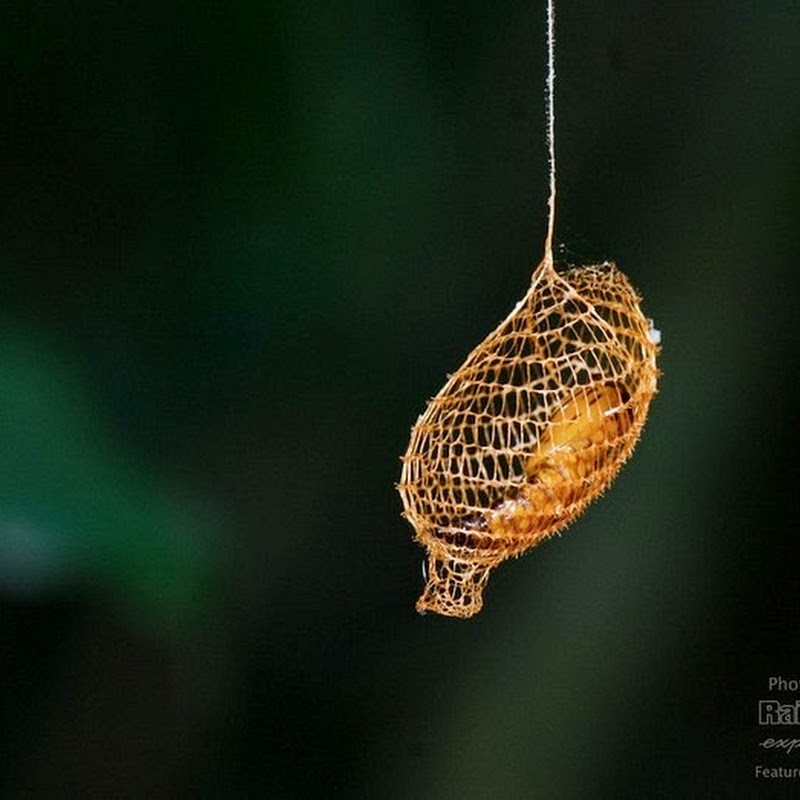 Cocoon of the Urodidae Moth